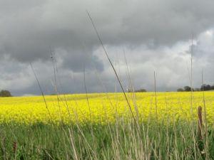 Cánh đồng Canola, vàng rực, trải dài một góc trời